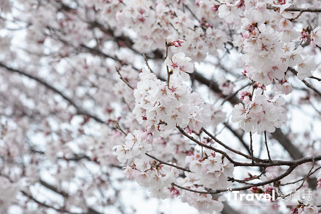 《大阪賞櫻景點》狹山池博物館:大阪櫻花最早開花賞櫻勝地,順訪安藤忠雄建築之美。