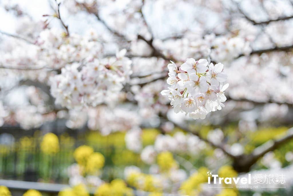 《京都賞櫻景點》山科疏水陌上櫻花開,享受晨光灑落的靜謐美景。