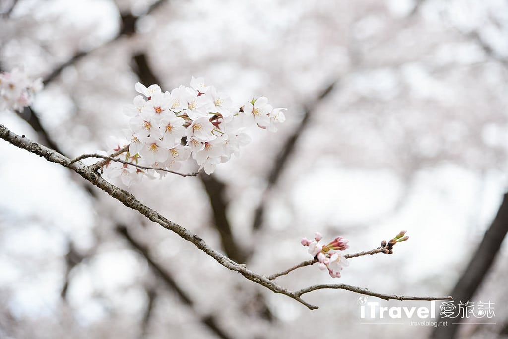 《京都賞櫻景點》京都府立植物園春天繁花似錦,親子出遊野餐一起親近自然。