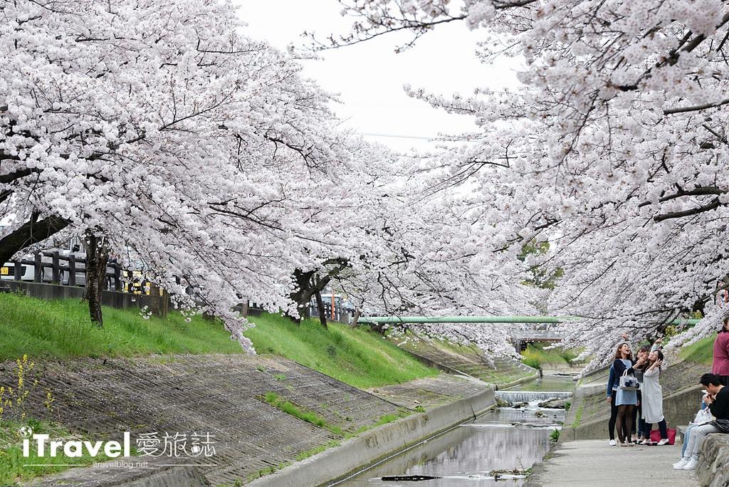 《奈良賞櫻景點》高田川千本櫻:大和高田市水岸櫻花隧道間,享受野餐賞櫻與好友相聚樂趣。